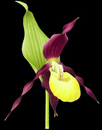Lady's Slipper floret